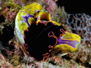 <p><strong>Fig. 3.1.</strong> A free-living marine flatworm (<em>Pseudobiceros</em> sp.) on a gold-mouth sea squirt (<em>Polycarpa aurata</em>), East Timor</p><br />