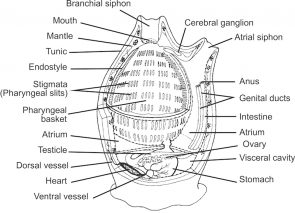 <p><strong>Fig. 3.101.</strong> (<strong>A</strong>) Diagram of the internal anatomy of an adult solitary tunicate</p><br />