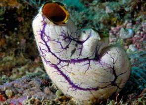 <p><strong>Fig. 3.101.</strong> (<strong>B</strong>) Gold-mouth sea squirt (<em>Polycarpa aurata</em>), an example of an adult solitary tunicate</p><br />