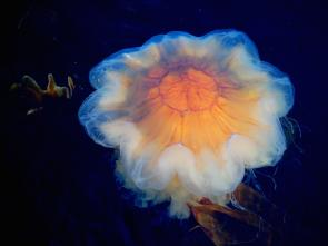 <p><strong>Fig. 3.10.</strong> (<strong>A</strong>) Lion's mane jellyfish (<em>Cyanea capillata</em>; phylum Cnidaria)</p><br />