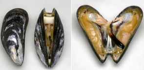 <p><strong>Fig. 3.12.</strong> (<strong>B</strong>) Blue mussel (<em>Mytilus edulis</em>)</p><br />
