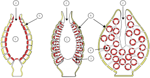 <p><strong>Fig. 3.19.</strong> Anatomy of three different simple, vase-like sponges showing (1) spongocoel (2) osculum (3) radial canal (4) flagellated chamber (5) incurrent pore and (6) incurrent chanel.</p><br />