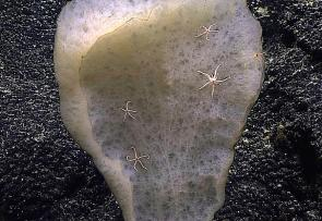 <p><strong>Fig. 3.22.</strong> (<strong>C</strong>) Deep sea glass sponge (<em>Polipogon</em> sp. D) with echinoderms</p><br />