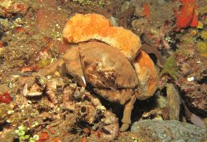 <p><strong>Fig. 3.22.</strong> (<strong>D</strong>) Sponge crab (<em>Dromia</em> sp.) using a sponge as camouflage</p><br />