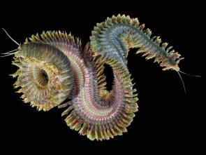 <p><strong>Fig. 3.2.</strong> (<strong>D</strong>) Marine king ragworm (<em>Alitta virens</em>; phylum Annelida)</p><br />