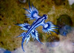 <p><strong>Fig. 3.51.</strong>&nbsp;(<strong>B</strong>) Blue dragon sea slug (<em>Glaucus atlanticus</em>; class Gastropoda)</p><br />