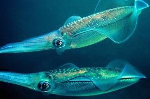 <p><strong>Fig. 3.51.</strong>&nbsp;(<strong>D</strong>) Bigfin reef squid (<em>Sepioteuthis lessoniana</em>; class Cephalopoda)</p><br />