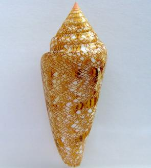 <p><strong>Fig. 3.52.</strong> Glory-of-the-sea snail (<em>Conus gloriamaris</em>) is prized by collectors for its ornate shell.</p><br />