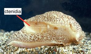 <p><strong>Fig. 3.57.</strong> Molluscs breathe using gills called ctenidia as shown in the sea slug, <em>Pleurobranchaea meckelii</em>.</p><br />
