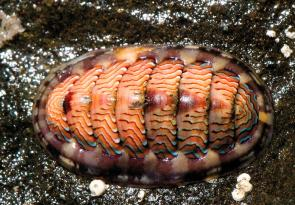<p><strong>Fig. 3.58.</strong> (<strong>A</strong>) Lined chiton (<em>Tonicella lineata</em>)</p><br />
