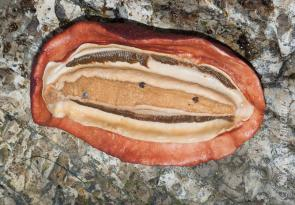<p><strong>Fig. 3.58.</strong> (<strong>D</strong>) Underside of gumboot chiton (<em>Cryptochiton stelleri</em>)</p><br />