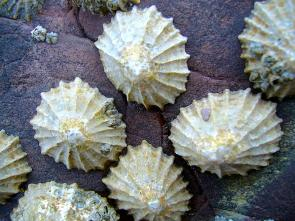 <p><strong>Fig. 3.59.</strong> (<strong>A</strong>) Common limpets (<em>Patella vulgata</em>)</p><br />