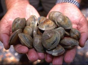 <p><strong>Fig. 3.61.</strong> (<strong>A</strong>) Hard-shell clams (<em>Mercenaria mercenaria</em>)</p><br />