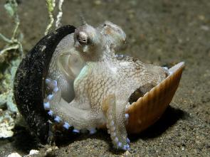 <p><strong>Fig. 3.65.</strong> (<strong>B</strong>) The coconut octopus (<em>Amphioctopus marginatus</em>) has been observed carrying coconut shells and mollusc shells while moving along the seafloor.</p><br />
