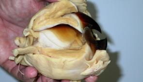 <p><strong>Fig. 3.66.</strong> (<strong>B</strong>) Dissected beak shown with muscle attachments</p><br />