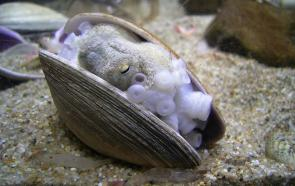 <p><strong>Fig. 3.70.</strong> (<strong>A</strong>) Octopus hiding in a mollusc shell</p><br />