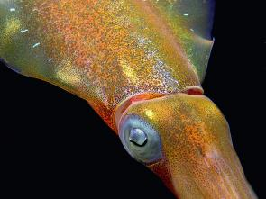 <p><strong>Fig. 3.71.</strong> (<strong>B</strong>) Chromophores visible on Caribbean reef squid (<em>Sepioteuthis sepioidea</em>)</p><br />