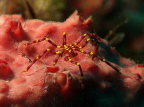 <p><strong>Fig. 3.72.</strong> (<strong>B</strong>) Yellow kneed sea spider (<em>Meridionale harrisi</em>) on a sponge (phylum Porifera)</p><br />