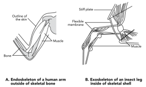 <p><strong>Fig. 3.74.</strong> Muscle attachment on an (<strong>A</strong>) exoskeleton of an insect leg, and an (<strong>B</strong>) endoskeleton of a human arm</p><br />