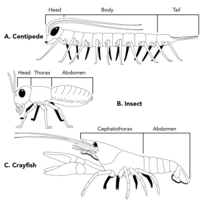 <p><strong>Fig. 3.75.</strong> Examples of arrangement of segments in three types of arthropods (<strong>A</strong>) Centipede (<strong>B</strong>) Insect (<strong>C</strong>) Crayfish</p><br />