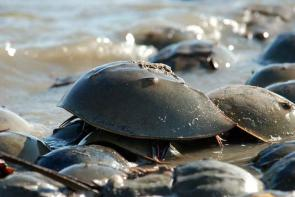 <p><strong>Fig. 3.76.</strong> (<strong>A</strong>) Atlantic horseshoe crab (<em>Limulus polyphemus</em>)</p><br />