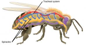 <p><strong>Fig. 3.78.</strong> Diagram showing gas exchange in insects through tracheae and spiracles.</p><br />