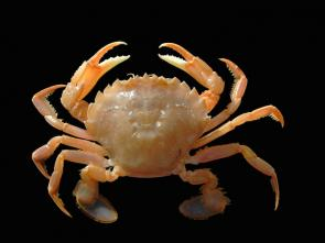 <p><strong>Fig. 3. 79.</strong>&nbsp;(<strong>D</strong>) Flying crab (<em>Liocarcinus holsatus</em>)</p><br />