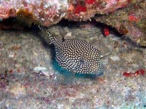 <p><strong>Fig. 4.26 (B)</strong> Spotted boxfish with specialized dorsal and anal fins for moving its boxy body</p><br />