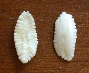 <p><strong>Fig. 4.36. (B)</strong> A pair of otoliths from a 160lb eight-banded grouper</p><br />