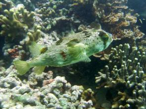 <p><strong>(B)</strong> porcupine fish</p><br />