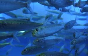 <p><strong>(A) </strong>Sardines swim by contracting their tail muscles</p><br />