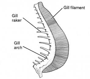 <p><strong>(B)</strong> A drawing of a gill filament with a gill raker and the gill arch labeled</p><br />