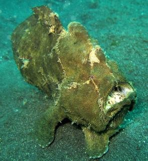 <p><strong>Fig. 4.74. (A)</strong> A giant frogfish hidding on the bottom (Antennarius commersonii).</p><br />