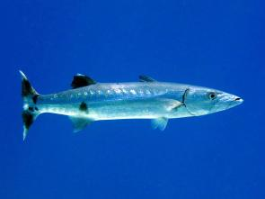 <p><strong>Fig. 4.80.&nbsp; (A)</strong> Great barracuda, a streamlined predator in tropical saltwater habitats</p><br />
