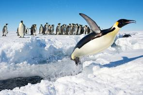 <p><strong>Fig. 5.1.</strong> Emperor penguin (<em>Aptenodytes forsteri</em>) jumping out of the water, Antarctica</p><br />