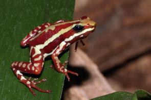 <p><strong>Fig. 5.11.</strong>&nbsp;(<strong>D</strong>) Phantasmal poison frog (<em>Epipedobates tricolor</em>)</p><br />