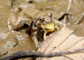 <p><strong>Fig. 5.15.</strong>&nbsp;(<strong>B</strong>) Frog eating another frog, Siem Reap, Cambodia</p><br />