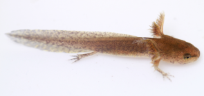 <p><strong>Fig. 5.18.</strong> (<strong>A</strong>) Spotted salamander (<em>Ambystoma maculatum</em>) larva</p><br />
