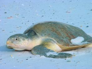 <p><strong>Fig. 5.24.</strong> (<strong>C</strong>) Kemp's ridley sea turtle (<em>Lepidochelys kempii</em>), Bon Secour National Wildlife Refuge, Alabama</p><br />