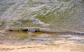 <p><strong>Fig. 5.26.</strong> (<strong>C</strong>) The Nile monitor (<em>Varanus niloticus</em>) is a large swimming lizard found near rivers throughout sub-Saharan Africa.</p><br />