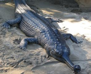 <p><strong>Fig. 5.27.</strong>&nbsp;(<strong>D</strong>) Gharial or gavial (<em>Gavialis gangeticus</em>)</p><br />