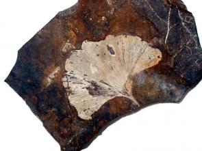 <p><strong>Fig. 5.28.</strong>&nbsp;(<strong>A</strong>) Fossil leaf of <em>Ginkgo biloba</em>, a tree species that has survived to the present day</p><br />