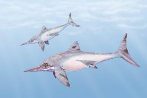 <p><strong>Fig. 5.29.</strong>&nbsp;(<strong>B</strong>) Artist concept drawing of <em>Platypterygius kiprjianovi</em> ichthyosaurs</p><br />