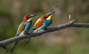 <p><strong>Fig. 5.2.</strong>&nbsp;(<strong>C</strong>) European bee-eaters (<em>Merops apiaster</em>), examples of birds, Ariège, France</p><br />