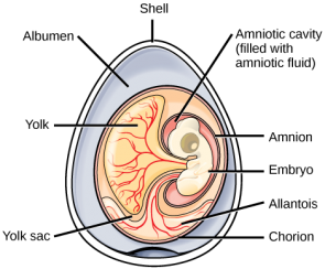 <p><strong>Fig. 5.32.</strong>&nbsp; (<strong>A</strong>) Diagram of an amniotic egg</p><br />