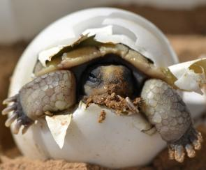 <p><strong>Fig. 5.32.</strong>&nbsp;(<strong>B</strong>) Desert tortoise (<em>Gopherus agassizii</em>) hatchling emerging from its egg shell</p><br />