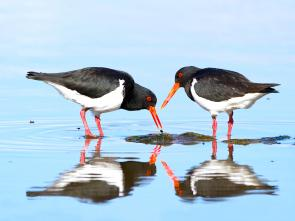 <p><strong>Fig. 5.35.</strong>&nbsp;(<strong>D</strong>) Pied oystercatchers (<em>Haematopus longirostris</em>), Hobart, Tasmania, Australia</p><br />