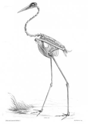 <p><strong>Fig. 5.43.</strong> (<strong>A</strong>) Skeleton of a sarus crane (<em>Antigone antigone</em>)</p><br />