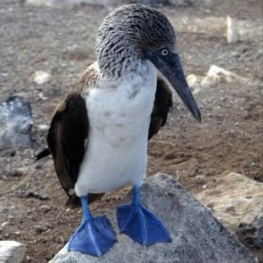 <p><strong>Fig. 5.44.</strong> (<strong>A</strong>) Webbed feet on a blue-footed booby (<em>Sula nebouxii</em>), Galápagos Islands</p><br />
