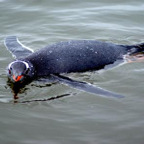 <p><strong>Fig. 5.44.</strong>&nbsp;(<strong>B</strong>) Gentoo penguin (<em>Pygoscelis papua</em>), Peterman Island in Antarctic Peninsula</p><br />